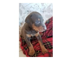 AKC registered Doberman puppies with champion bloodlines