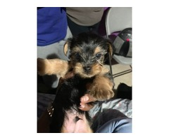 Adorable Yorkie Male Puppies