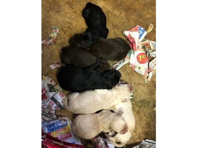 Akc Labrador Puppies Animals Los Angeles California