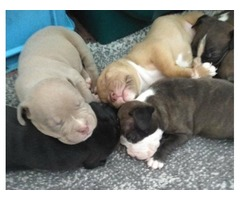 American Bully Pups Available Dec 19.