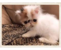 Adorable CFA Pure Persian Female Calico High White Kitten $1000.00