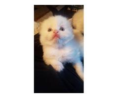 Ragdoll boy kittens