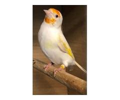 European goldfinch mutation satinet