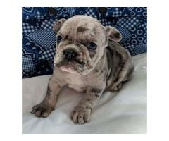 Aurora- French Bulldog Puppy
