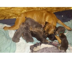 South african boerboel puppies for sale