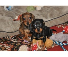 AKC Reg Miniature Smooth Dachshunds Puppies Available Now