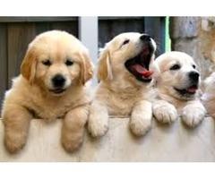 pure breed Xmas Golden retriever puppies