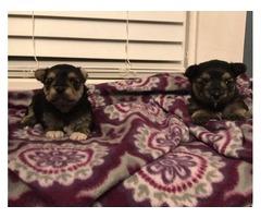 Yorkie/ Shih Tzu Puppies