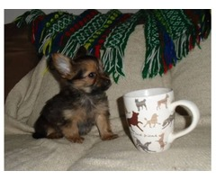 Yorkie-Pom Tiny Female puppy