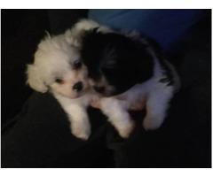 Pekapoo and Lhasapoo Puppies