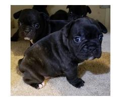 AKC French bulldog puppies