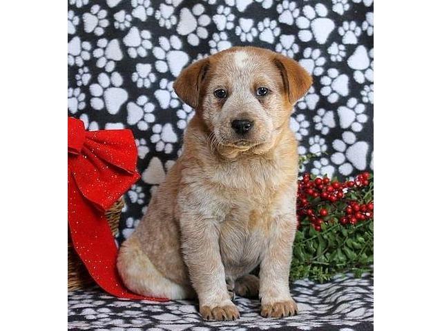 Blue Heeler Australian Cattle Dog Puppy Ray Red Heeler
