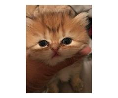 Dollface Golden Chinchilla Persian Kittens