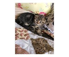 New!! Pure bred Scottish kitten for sale