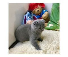 Blue Scottish Fold girl kitten