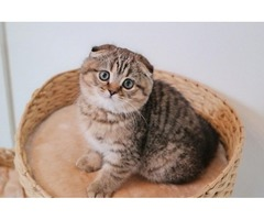 Scottish fold girl/golden tabby