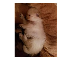 Biscuit and White Male Pomeranian