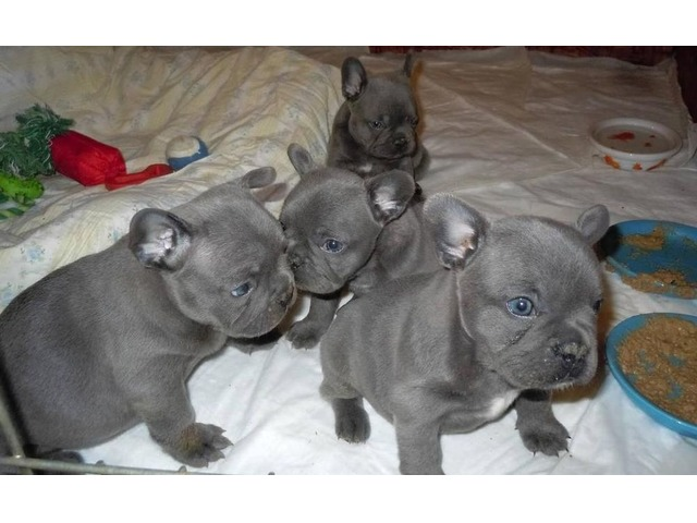 Happy Blue French Bulldog Puppies Available Now Animals Phoenix