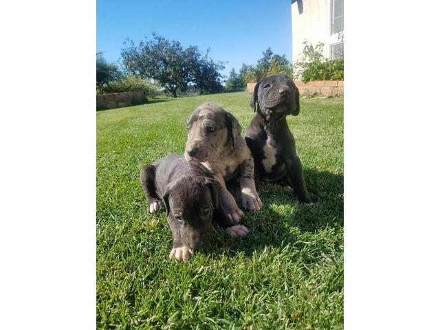 Thanksgiving Great Dane Puppies Animals Temecula California