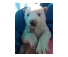 husky/timberwolf pups