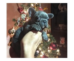 Just in time for the holidays (French Bulldog)