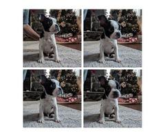 8 week old male Boston terrier