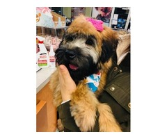 Soft coated Wheaten Terrier- Female 4 months