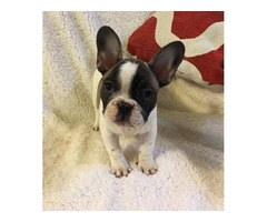 French Bulldog Litter ready to home