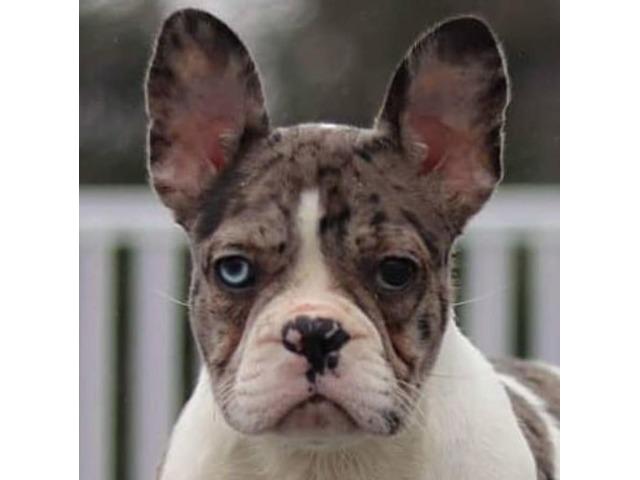 Merle Romeo French bulldog male puppy New York - Animals ...