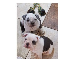 Blue and white Old English Bulldogs