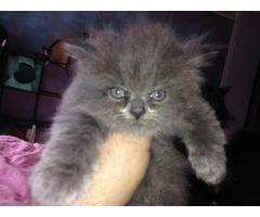 Persian kitten (male)