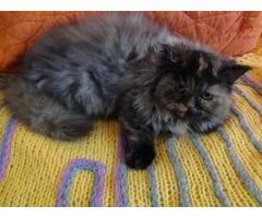 Purebred Persian female .