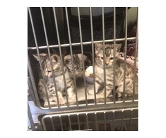 Sweet Bengal Babies ready just in time for Christmas!!!!!