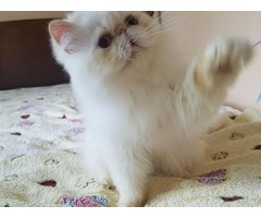 Himalayan kitten male cream point color