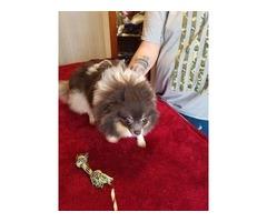 Pixie (Pomeranian)