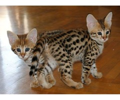 Amazing f1 girl/boy Savannah kittens