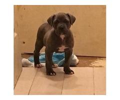 canecorso mix pitbull puppies