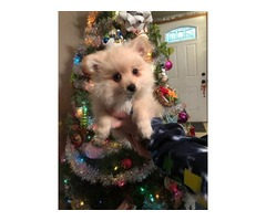 Pom puppy - For Sale