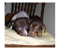 Reduced!!! Mini Dachshund/Chihuahua Puppies Chiweenies Great Cross