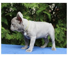 Lilac Frenchie Bentley