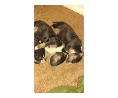 AKC Bullterrier puppies Xmas