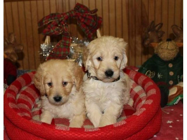 GoldenDoodlePuppies