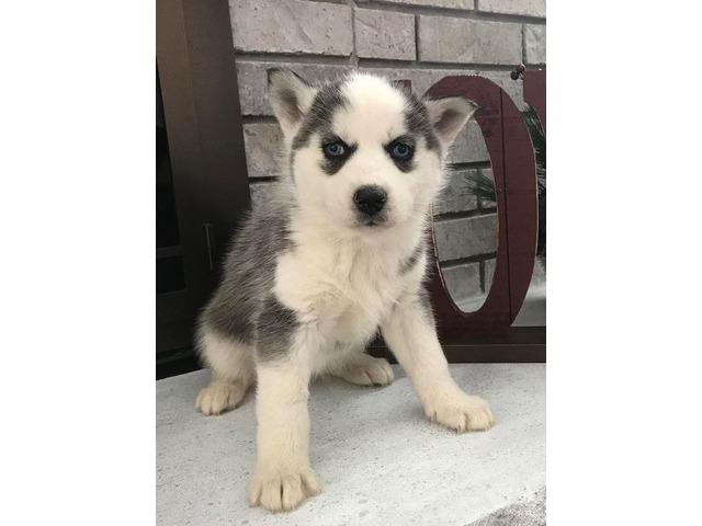 Husky puppies | free-classifieds-usa.com