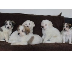 Akbash and Great Pyrenees Mix Puppies