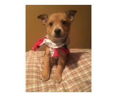 Chihuahua terrier cross