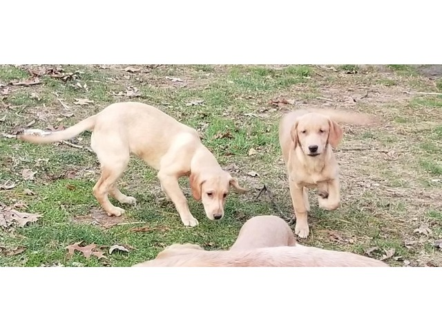 Labrador Golden Labrador Retriever Puppies Ny Animals New York