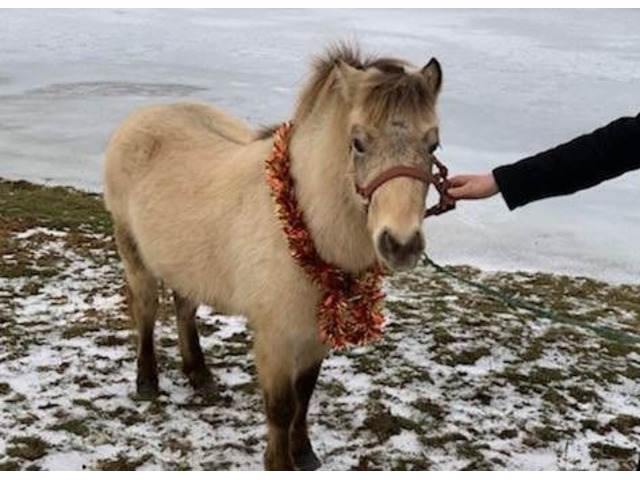 Mini Pony For Sale Animals New York City New York