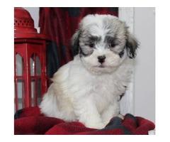 Lhasa apso/ bichon puppies