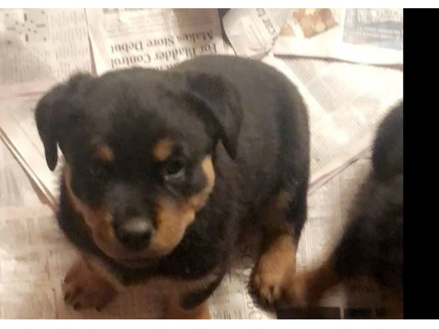 German Rottweiler Pups Animals New Hartford New York