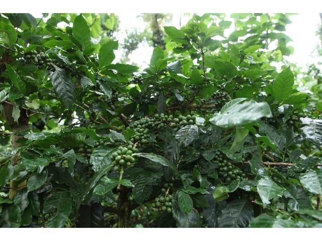 Coffee estate for sale in Sakleshpur, coorg, chikmagalur, karnataka | free-classifieds-usa.com